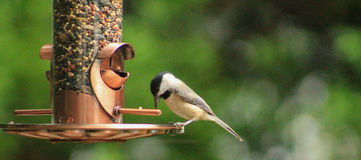 Carolina Chickadee-on feeder Royalty Free Stock Image