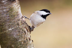 Carolina Chickadee Hanging Out. A carolina chickadee hanging off a mountain ash tree Stock Images