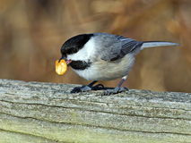 Carolina Chickadee with peanut stock photos
