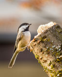 Carolina Chickadee on a perch in spring. Small bird Carolina Chickadee or Poecile carolinensis on a perch in spring with blury background Stock Images