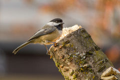 Carolina Chickadee on a perch in spring. Small bird Carolina Chickadee or Poecile carolinensis on a perch in spring with blury background Stock Image
