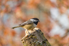 Carolina Chickadee on a perch in spring. Small bird Carolina Chickadee or Poecile carolinensis on a perch in spring with blury background Stock Photography