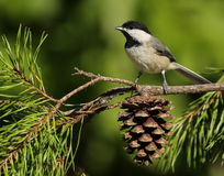Carolina Chickadee Royalty Free Stock Image