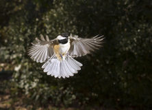 Carolina chickadee (Poecile carolinensis) flying Royalty Free Stock Image