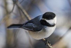 Carolina Chickadee Stock Photo