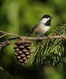Carolina Chickadee. Singing Carolina chickadee on pine tree branch with pine cone stock images