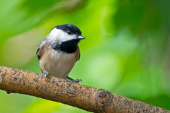 Carolina Chickadee Stock Photography