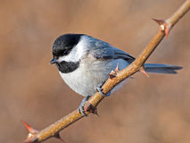 Carolina Chickadee stock image