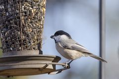 Carolina Chickadee at sunflower bird feeder, Athens, Georgia USA. Carolina Chickadee bird, Poecile carolinensis, eating sunflower seeds at backyard bird feeder royalty free stock photography