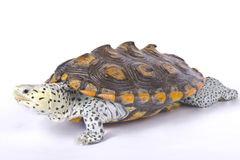 Carolina diamondback terrapin, Malaclemys terrapin centrata. Is a brackish water terrapin species found in the United States Royalty Free Stock Images