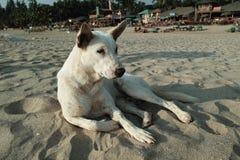 Carolina Dog à la plage de Patnem, Goa Photo libre de droits