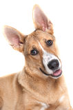Carolina dog Royalty Free Stock Photo