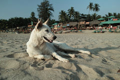 Carolina Dog bij Patnem-Strand, Goa Stock Foto's