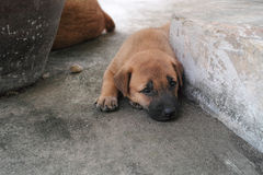 Carolina Dog linda Imagen de archivo libre de regalías