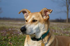 Carolina dog Meadow Portrait Stock Image