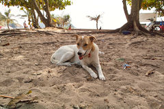 Carolina Dog at Naihan Beach Royalty Free Stock Image
