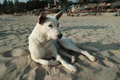Carolina Dog at Patnem Beach, Goa Royalty Free Stock Photo
