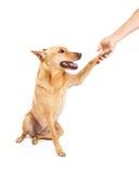 Carolina Dog Paw Shake Royalty Free Stock Photography