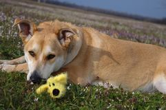 Carolina dog Portrait in meadow Stock Photography
