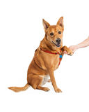 Carolina Dog Shaking Hands Royalty Free Stock Photography