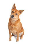 Carolina Dog Sitting Tilting Head. Cute Carolina breed dog sitting on a white background tilting head and looking into camera Royalty Free Stock Image