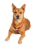 Carolina Dog Wearing Red Harness Laying Stock Images