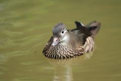 Carolina duck Stock Image
