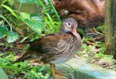Carolina duck standing Royalty Free Stock Photography