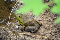 Carolina Gopher Frog. Sitting in the mud next to some muddy green lime colored water Stock Photo