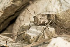 Carolina Grasshopper - Dissosteira Carolina immagini stock