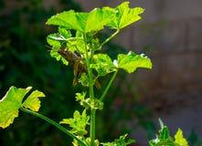 Carolina Grasshopper på växten som äter sidor royaltyfri fotografi