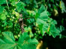 Carolina Grasshopper på växten som äter sidor royaltyfri bild