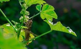 Carolina Grasshopper på växten som äter sidor royaltyfri foto