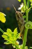 Carolina Grasshopper på växten som äter sidor arkivbilder