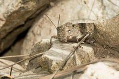 Carolina Grasshopper - Dissosteira carolina. Carolina Grasshopper at rest on a rock. Todmorden Mills Park, Toronto, Ontario, Canada Stock Images
