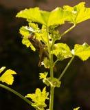 Carolina Grasshopper sulla pianta, mangiante le foglie fotografia stock libera da diritti