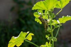 Carolina Grasshopper sulla pianta, mangiante le foglie fotografie stock libere da diritti