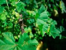 Carolina Grasshopper sulla pianta, mangiante le foglie immagine stock libera da diritti