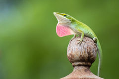 Carolina Green Anole Immagine Stock