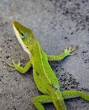 Carolina Green Anole Gecko Lizard Stockbild