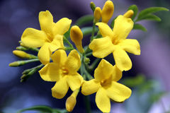 Carolina Jasmine Flowers royalty free stock photo