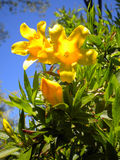 Carolina Jasmine Under Carolina Blue Sky Photo stock