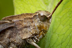 Carolina Locust Grasshopper Stock Photo