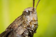 Carolina Locust Grasshopper Stock Image