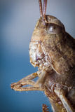 Carolina Locust Grasshopper Stock Photography
