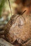 Carolina Locust Grasshopper Royalty Free Stock Photo