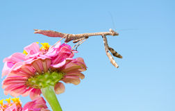 Carolina Mantid waiting for prey Stock Photos