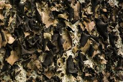 Carolina Navel Lichen - Umbilicaria caroliniana. Carolina navel lichen growing on a boulder located on the Blue Ridge Parkway, Virginia, USA stock photography