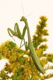 Carolina Praying Mantid on Goldenrod Stock Photo