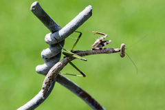 Carolina Praying Mantis Imagem de Stock